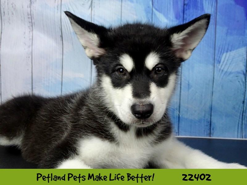 Alaskan Malamute-Female-black & white-2428892-Petland Naperville