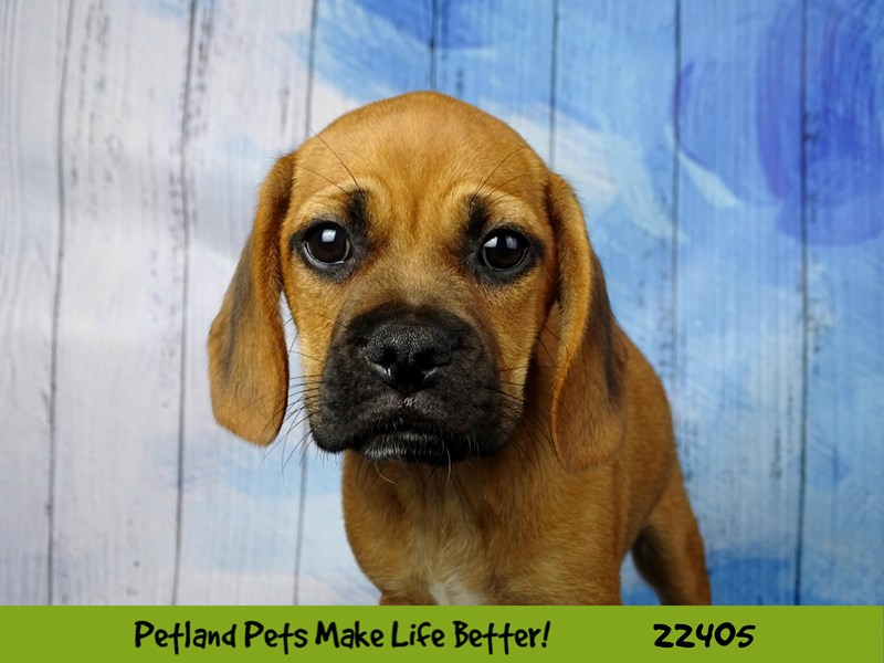 Pug/Beagle-DOG-Male-Fawn-2429021-Petland Naperville