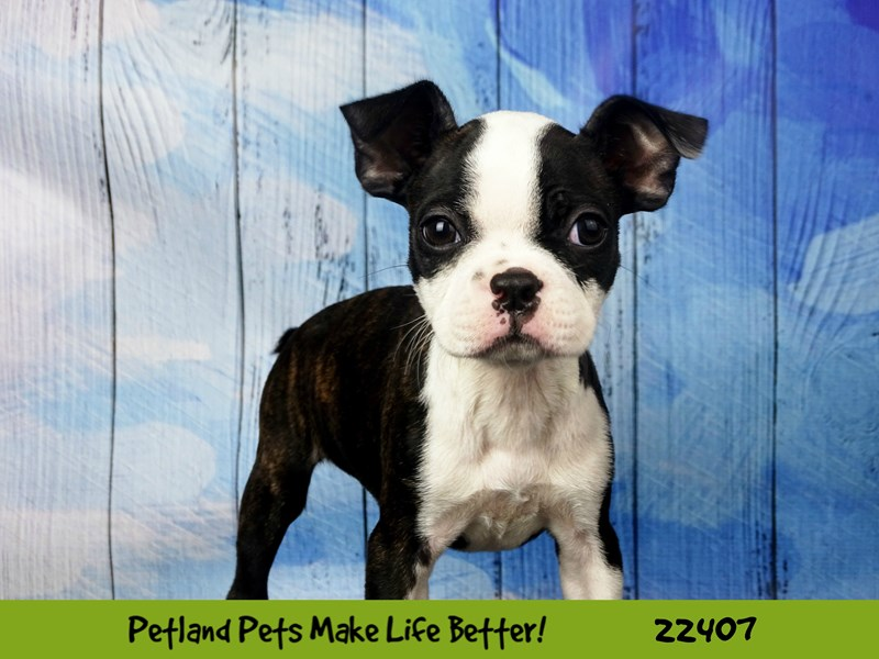 Boston Terrier-DOG-Female-black and white-2429144-Petland Naperville