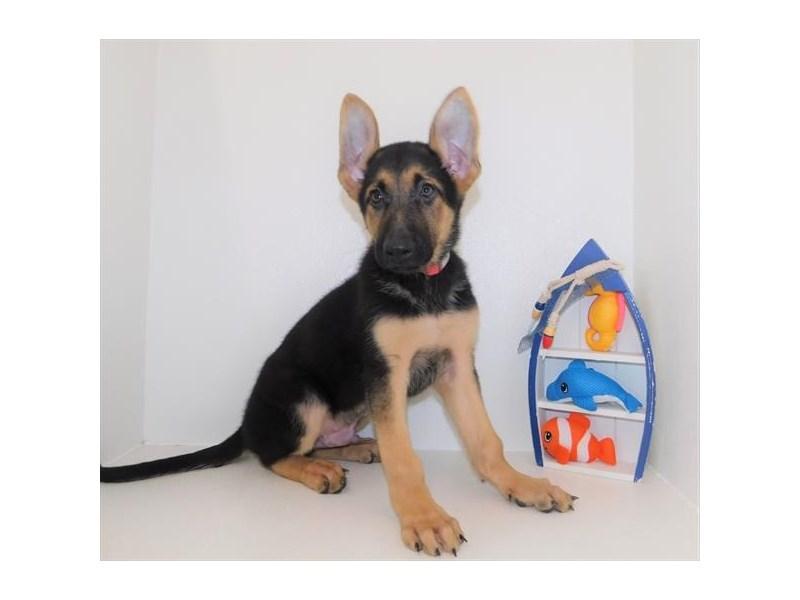 German Shepherd Dog-DOG-Male-Black / Tan-2435339-Petland Naperville