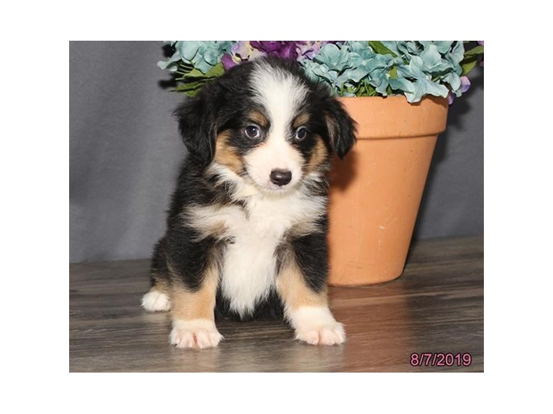 Miniature Australian Shepherd-DOG-Male-Tri-Colored-2435344-Petland Naperville