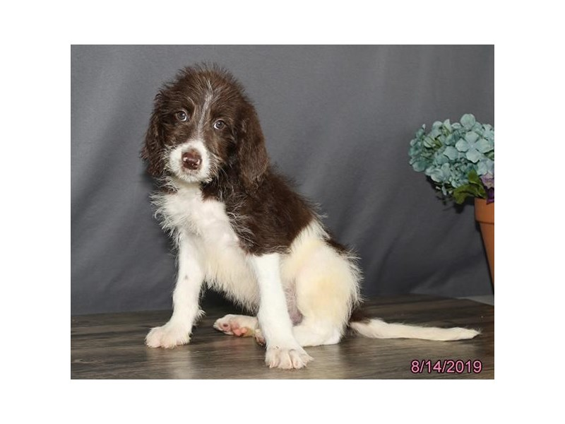 Labradoodle-DOG-Male-Chocolate-2435346-Petland Naperville