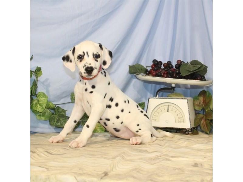 Dalmatian-Female-White / Black-2435399-Petland Naperville