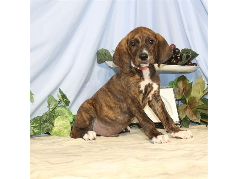 Mountain Cur/Treeing Walker Coon Hound-DOG-Male-Brindle-2435421-Petland Naperville
