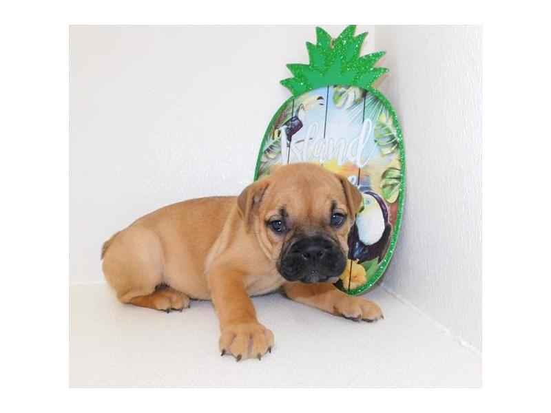 Bulldog/Chinese Shar-Pei-DOG-Female-Fawn-2435431-Petland Naperville