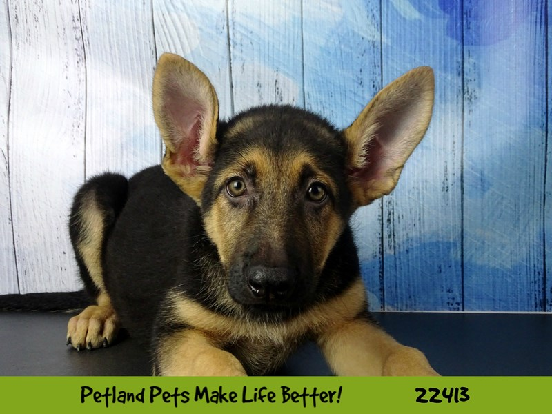 German Shepherd-Male-Black & Tan-2435013-Petland Naperville