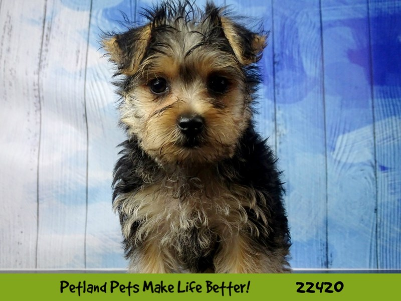 Morkie-DOG-Female-black & tan-2435456-Petland Naperville