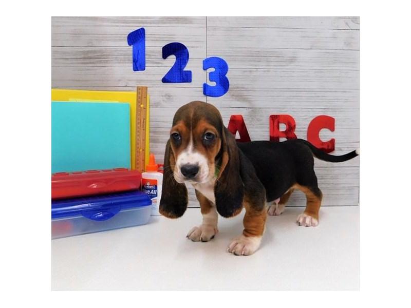 Basset Hound-DOG-Male-Black White / Tan-2441150-Petland Naperville