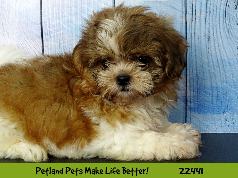 Shih Tzu-Female-Sable and white-2441231-Petland Naperville