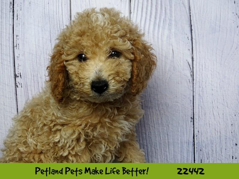 Poodle-Male-Apricot-2441268-Petland Naperville