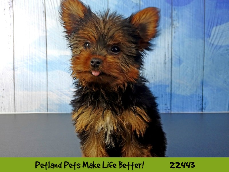 Yorkshire Terrier-DOG-Female-Black and Tan-2441324-Petland Naperville