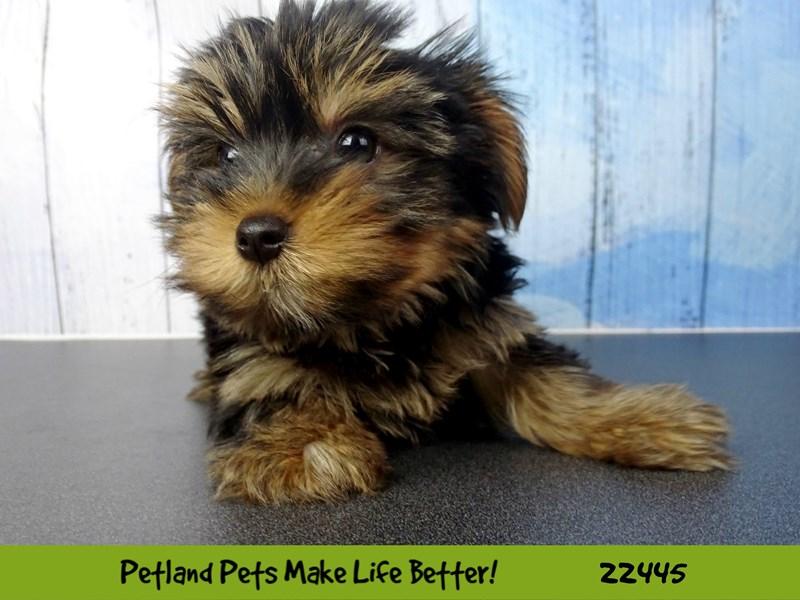 Yorkshire Terrier-Female-Black / Tan-2442829-Petland Naperville