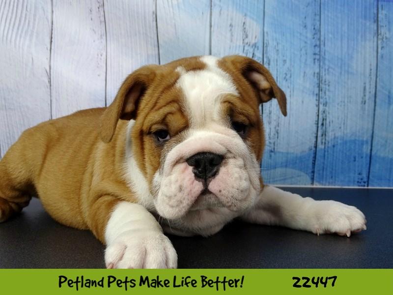 Bulldog-Male-Red-2442824-Petland Naperville