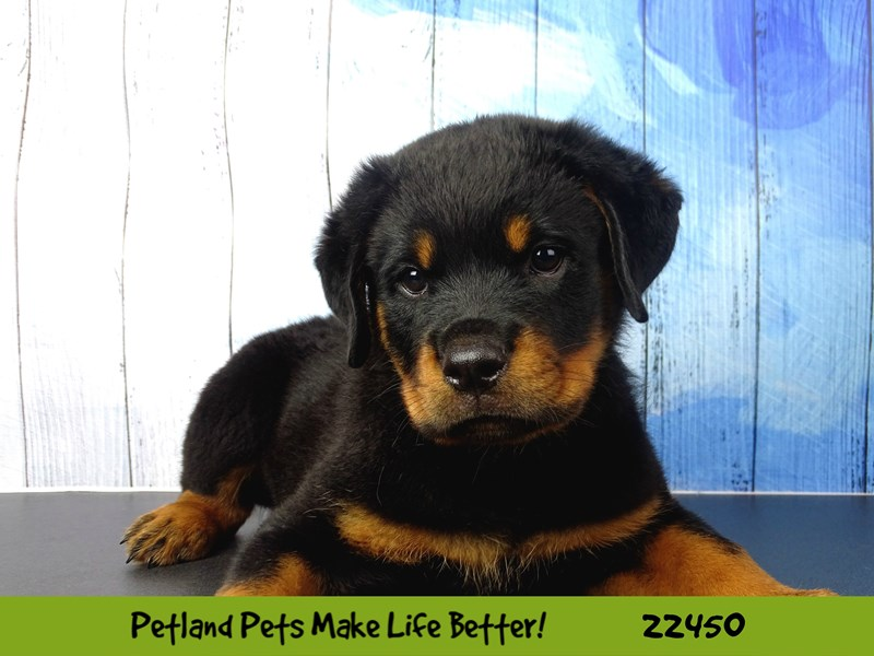 Rottweiler-Male-Black and Tan-2442462-Petland Naperville