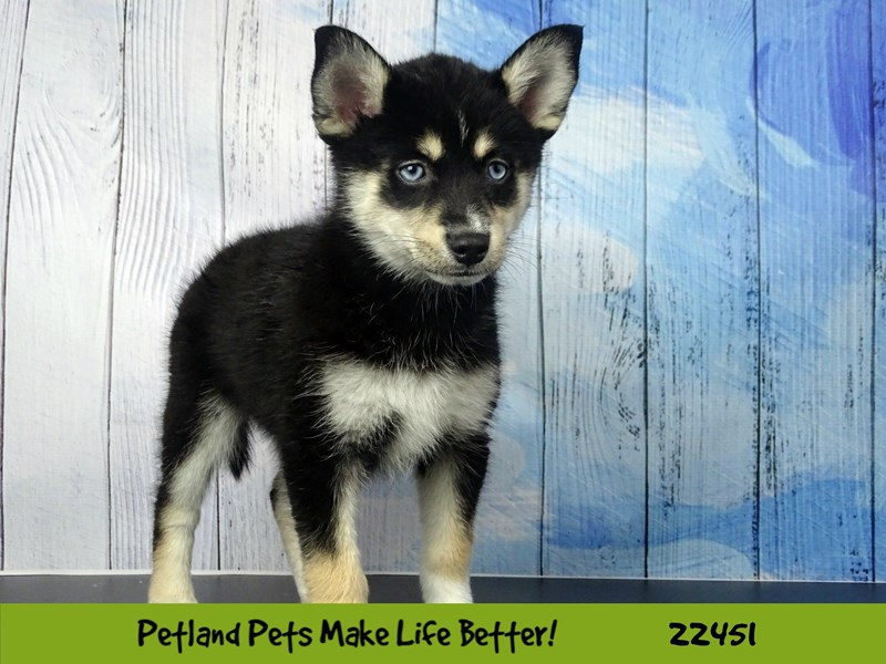 Pomsky-Female-Black and White-2446752-Petland Naperville