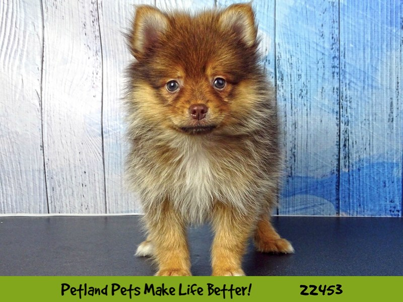 Pomeranian-Female-Chocolate Sable-2446757-Petland Naperville