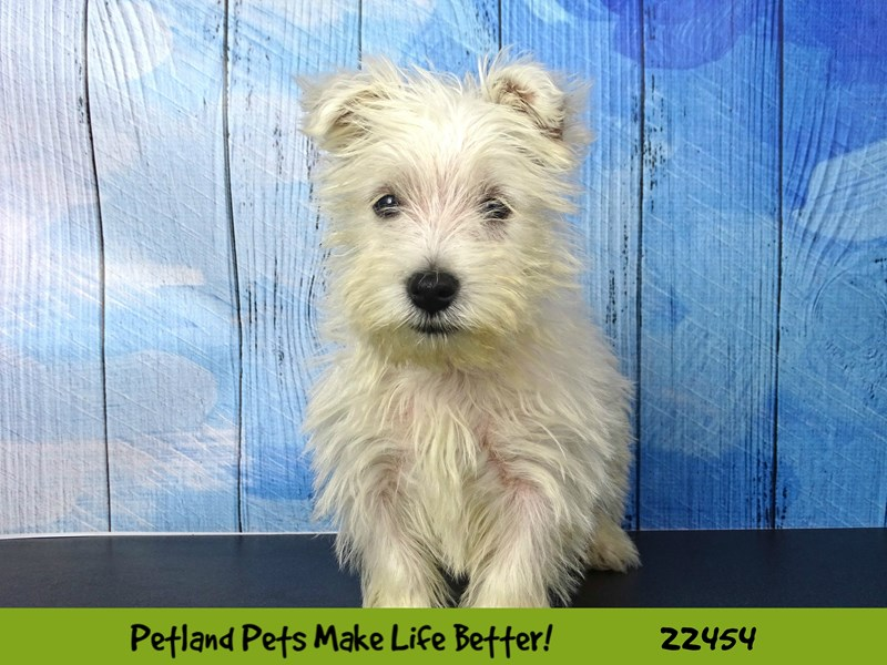 West Highland White Terrier-Female-White-2440103-Petland Naperville