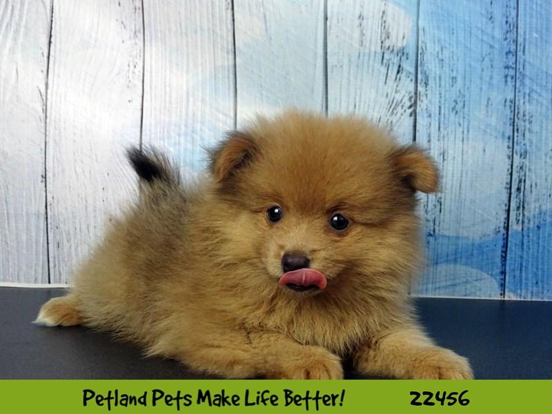 Pomeranian-Male-Sable-2446836-Petland Naperville