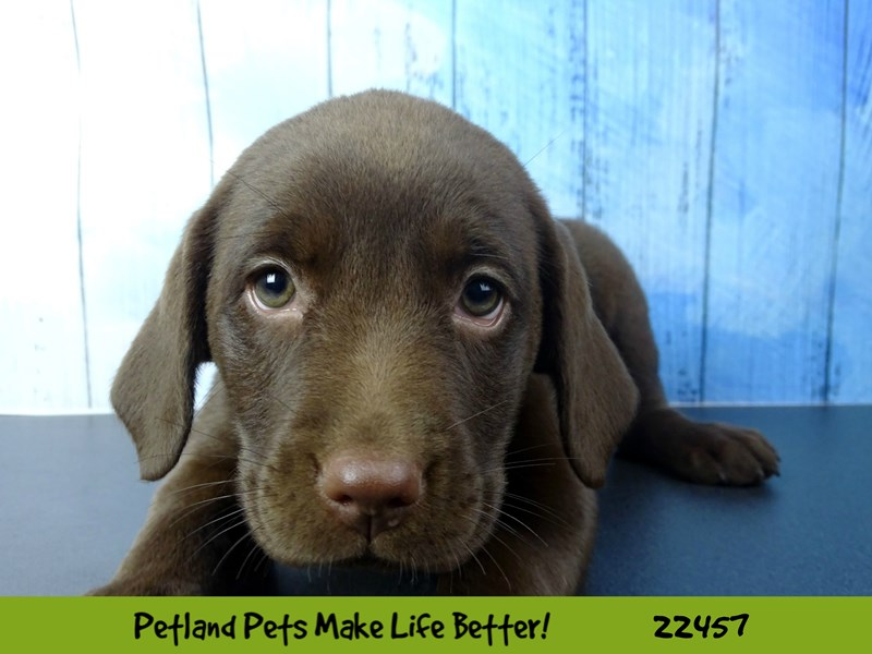 Labrador Retriever-Female-Chocolate-2446884-Petland Naperville