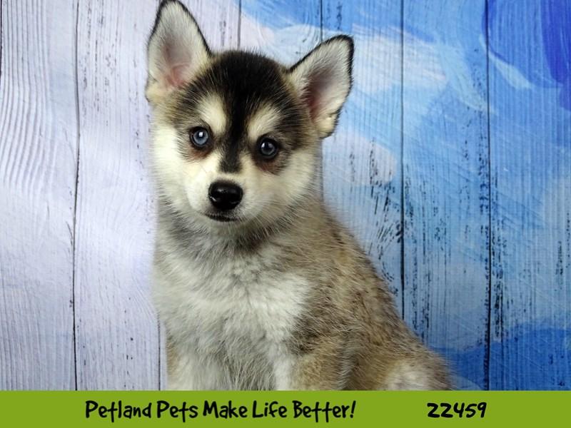 Pomsky-Male-Grey & White-2446954-Petland Naperville