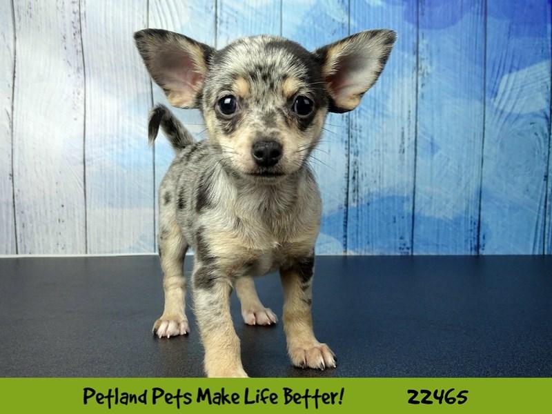 Chihuahua-Female-Blue Merle-2448160-Petland Naperville