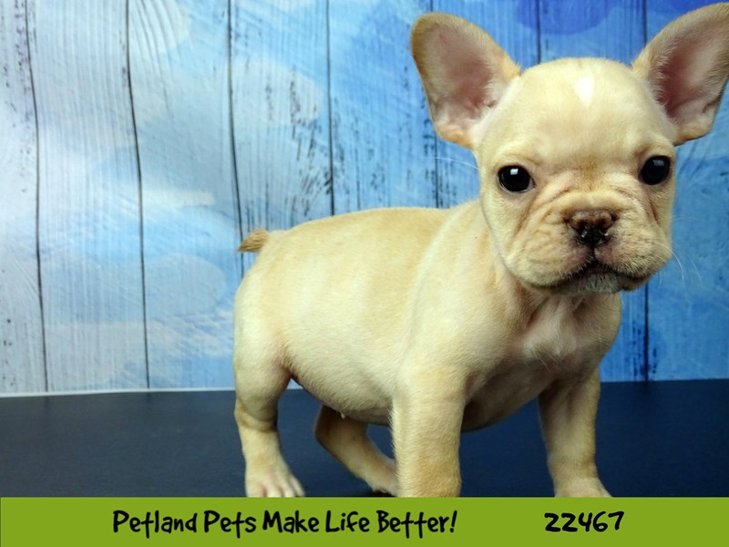French Bulldog-Female-Cream-2448164-Petland Naperville