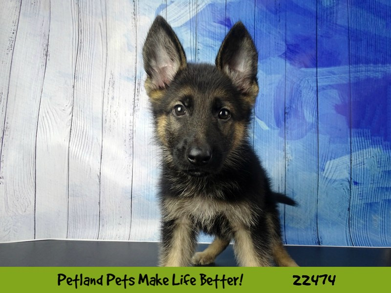 German Shepherd Dog-Male-Black / Tan-2448197-Petland Naperville