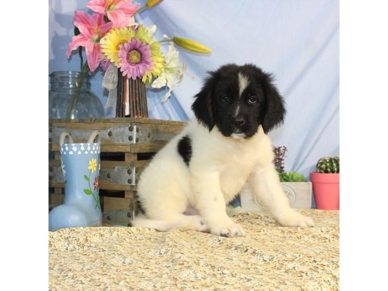 Newfoundland-DOG-Female-Black Landseer-2452809-Petland Naperville