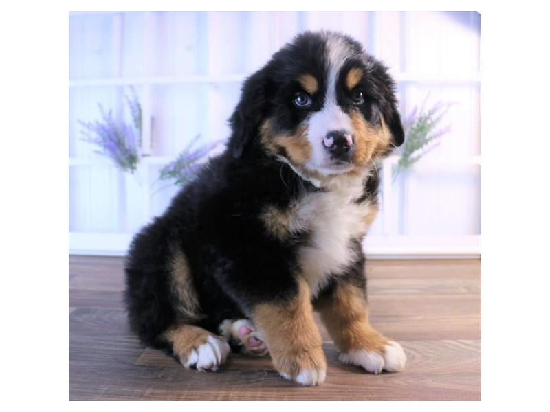 Bernese Mountain Dog-Male-Black Rust / White-2454801-Petland Naperville