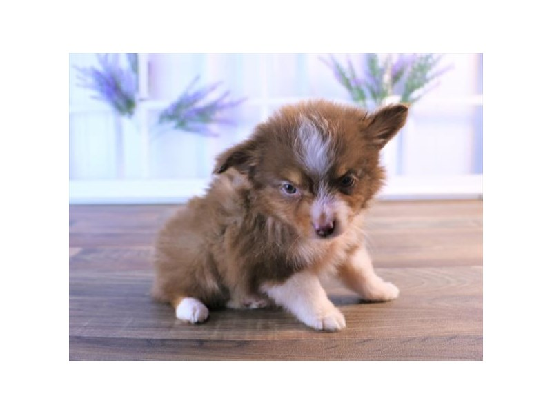 Miniature Australian Shepherd-DOG-Male-Red-2454805-Petland Naperville