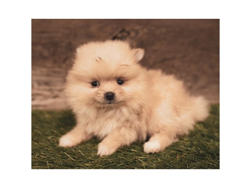 Pomeranian-Female-Orange-2454844-Petland Naperville