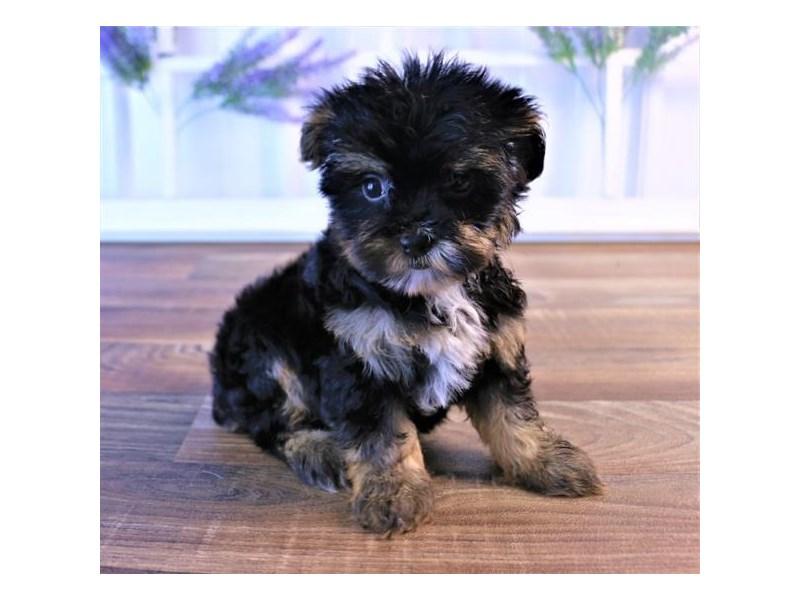 Yorkie/Poodle-DOG-Female-Black / Tan-2454867-Petland Naperville