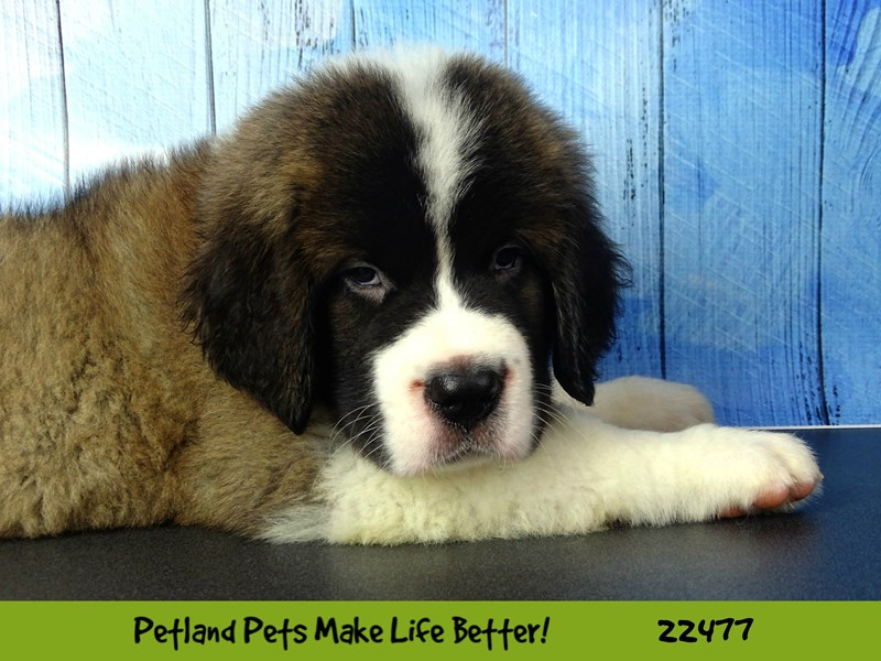 Saint Bernard-DOG-Male-Tri Color-2452828-Petland Naperville