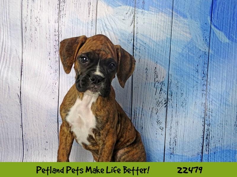 Boxer-Female-Brindle-2452870-Petland Naperville