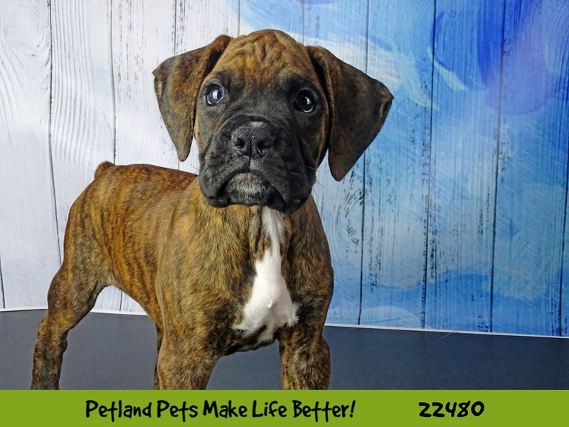 Boxer-Male-Fawn-2452902-Petland Naperville