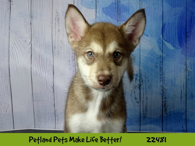 Alaskan Malamute-Male-Red-2452918-Petland Naperville
