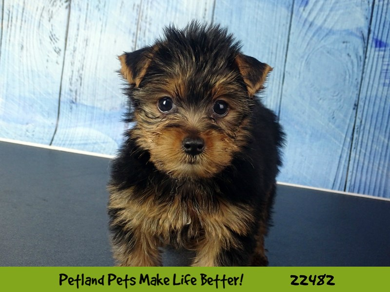 Yorkshire Terrier-DOG-Female-Black & Tan-2452976-Petland Naperville