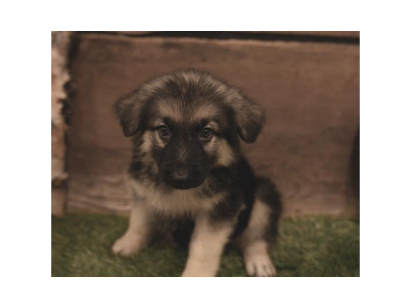 German Shepherd Dog-Female-Black / Tan-2460714-Petland Naperville