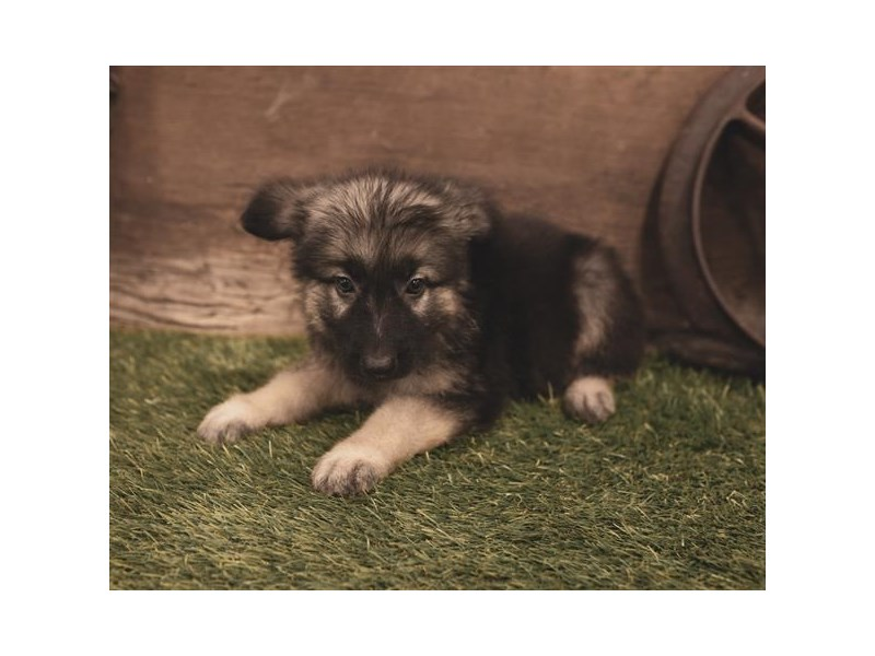 German Shepherd Dog-Male-Black / Tan-2460715-Petland Naperville