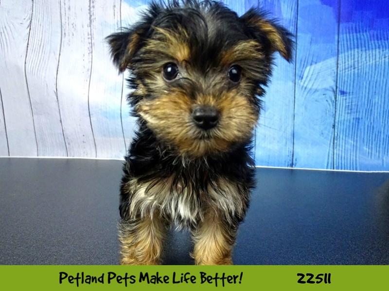 Yorkshire Terrier-DOG-Male-Black / Tan-2460716-Petland Naperville