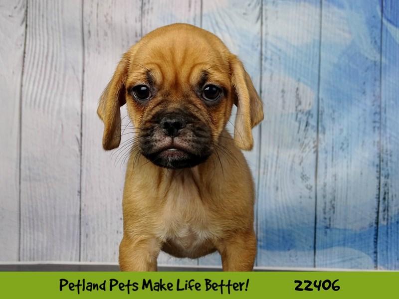 Pug/Beagle-Female-Fawn-2429038-Petland Naperville