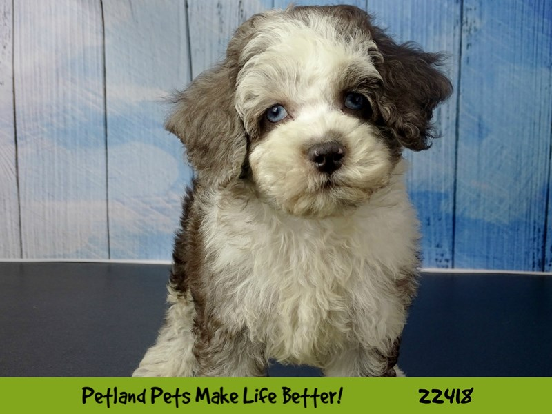 Cockapoo-Male-Chocolate Merle-2435405-Petland Naperville