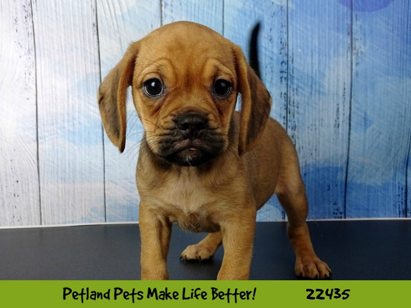 Puggle-DOG-Female-Fawn-2441142-Petland Naperville