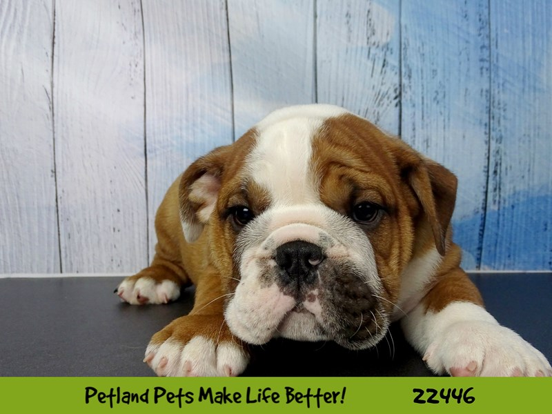 Bulldog-DOG-Male-Red-2442825-Petland Naperville