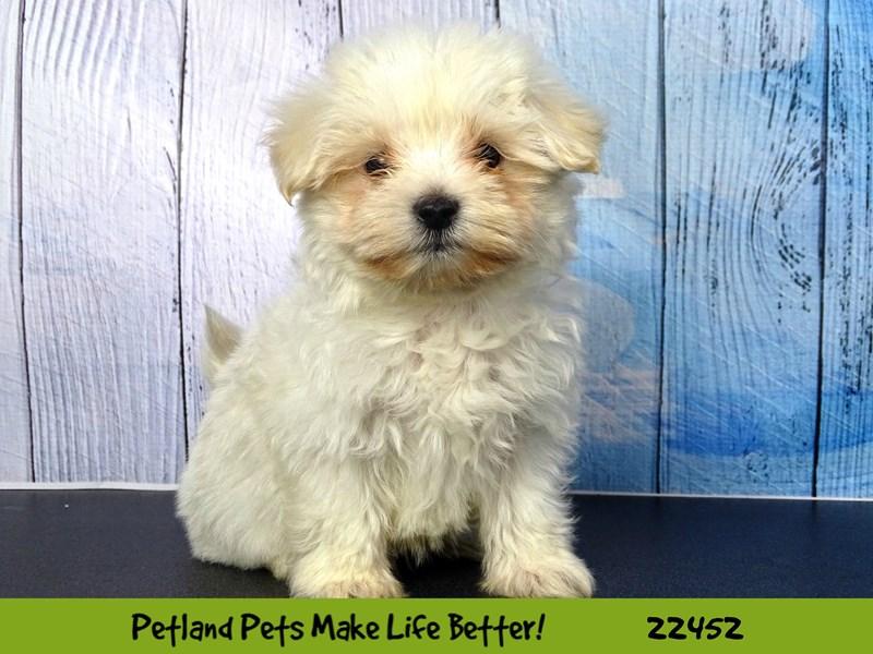 Maltese-DOG-Male-White-2446781-Petland Naperville