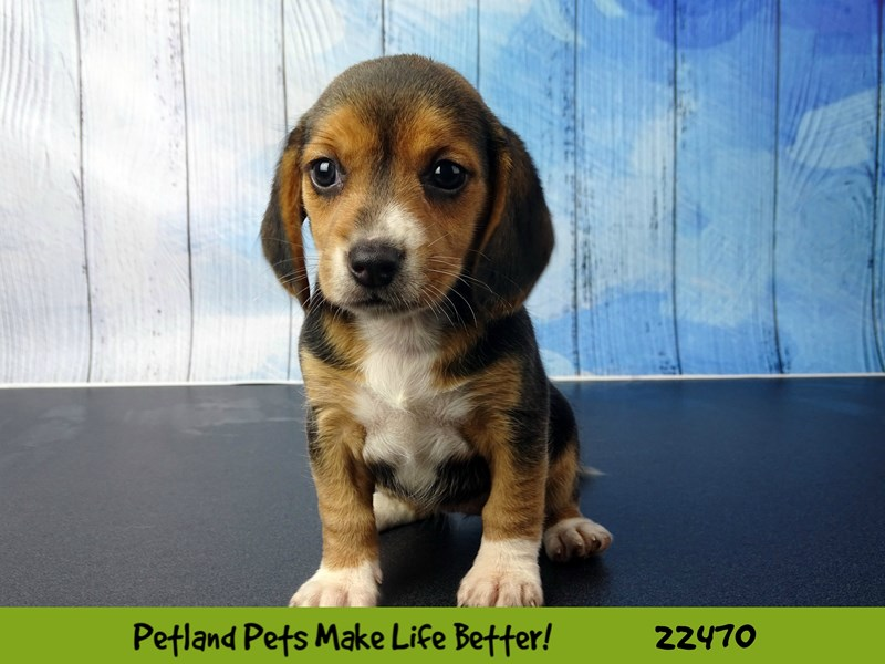 Beagle-Female-Black White / Tan-2448150-Petland Naperville