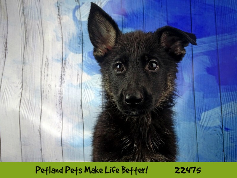 German Shepherd Dog-Female-Black / Tan-2448199-Petland Naperville