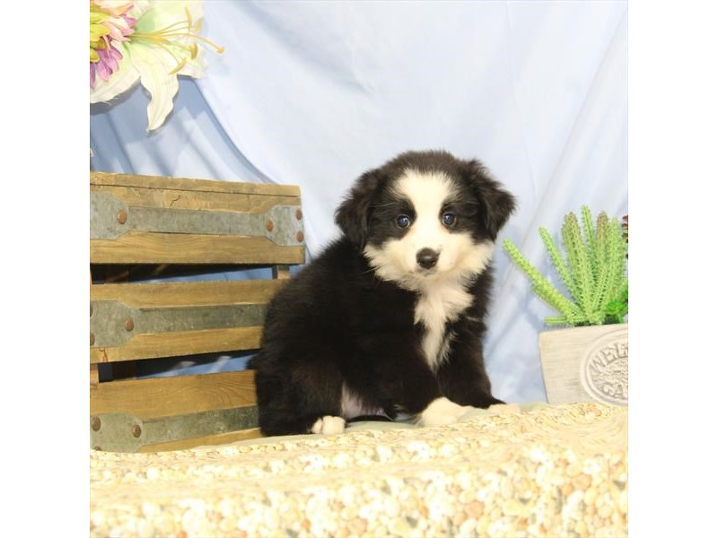 Australian Shepherd-DOG-Male-Black-2452806-Petland Naperville