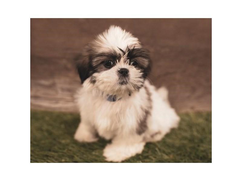 Shih Tzu-DOG-Female-Gold / White-2454784-Petland Naperville