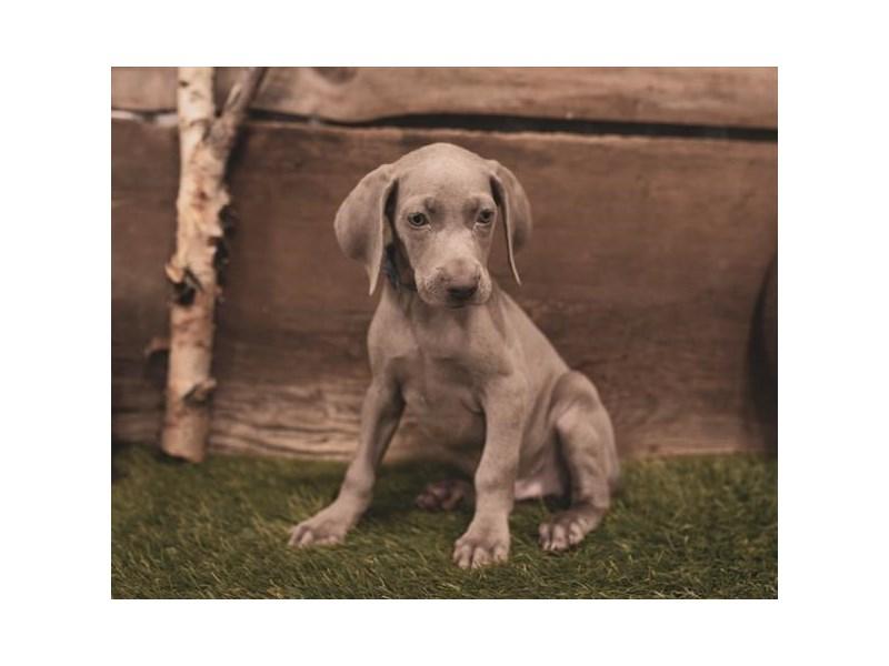 Weimaraner-DOG-Male-Blue-2454798-Petland Naperville